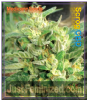 Medicann Scrog CBD Female 5 Marijuana Seeds